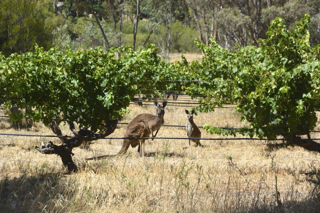 Kangaroos hanging out in Henschke's vineyards