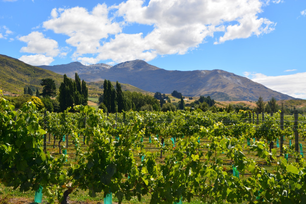 Rows of vines in Gibbston Valley, Central Otago